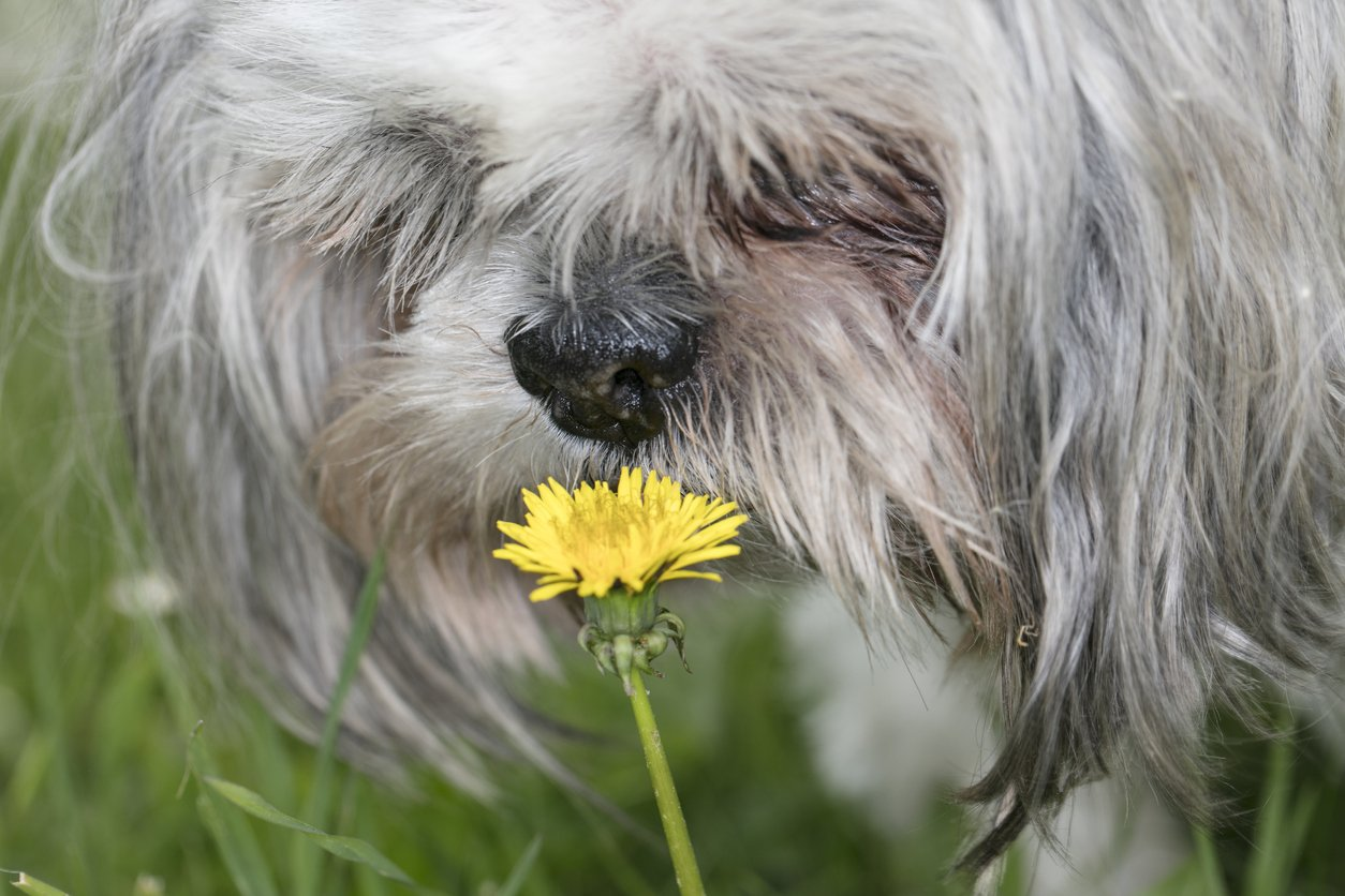 dog-with-pollen-allergies