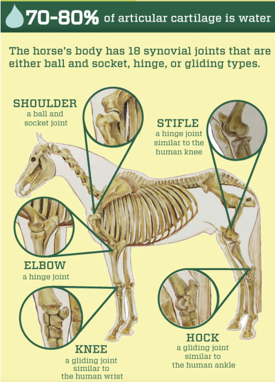 horse joint