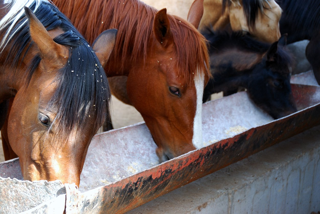 horses eating with supplements